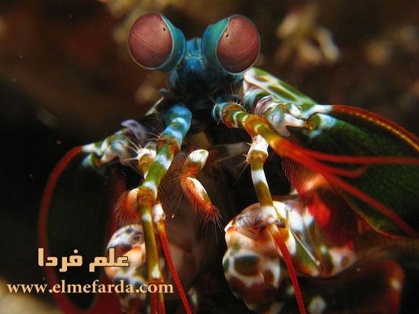 چشم های میگیوی آخوندکی یا mantis shrimp