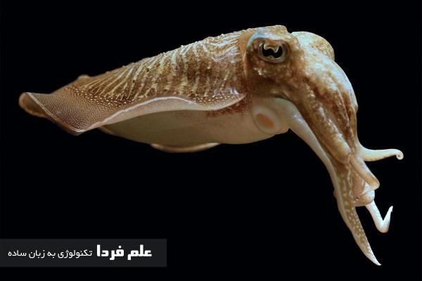 ماهی سپیداج یا Cuttlefish