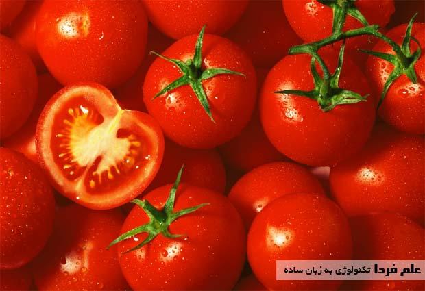 علت قرمز شدن رنگ گوجه فرنگی رسیده