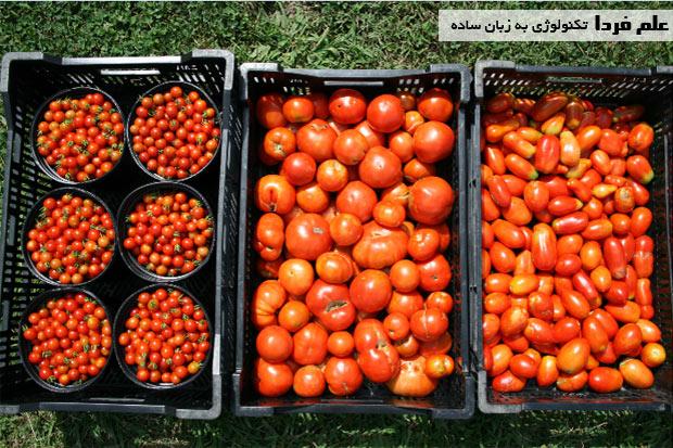 گوجه فرنگی های کوچکتر زودتر از گوجه های بزرگ تر میرسن