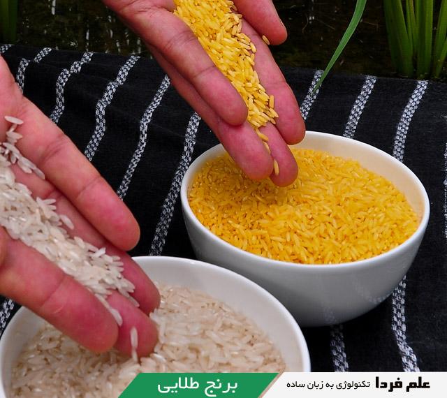 محصولات تراریخته - برنج طلایی